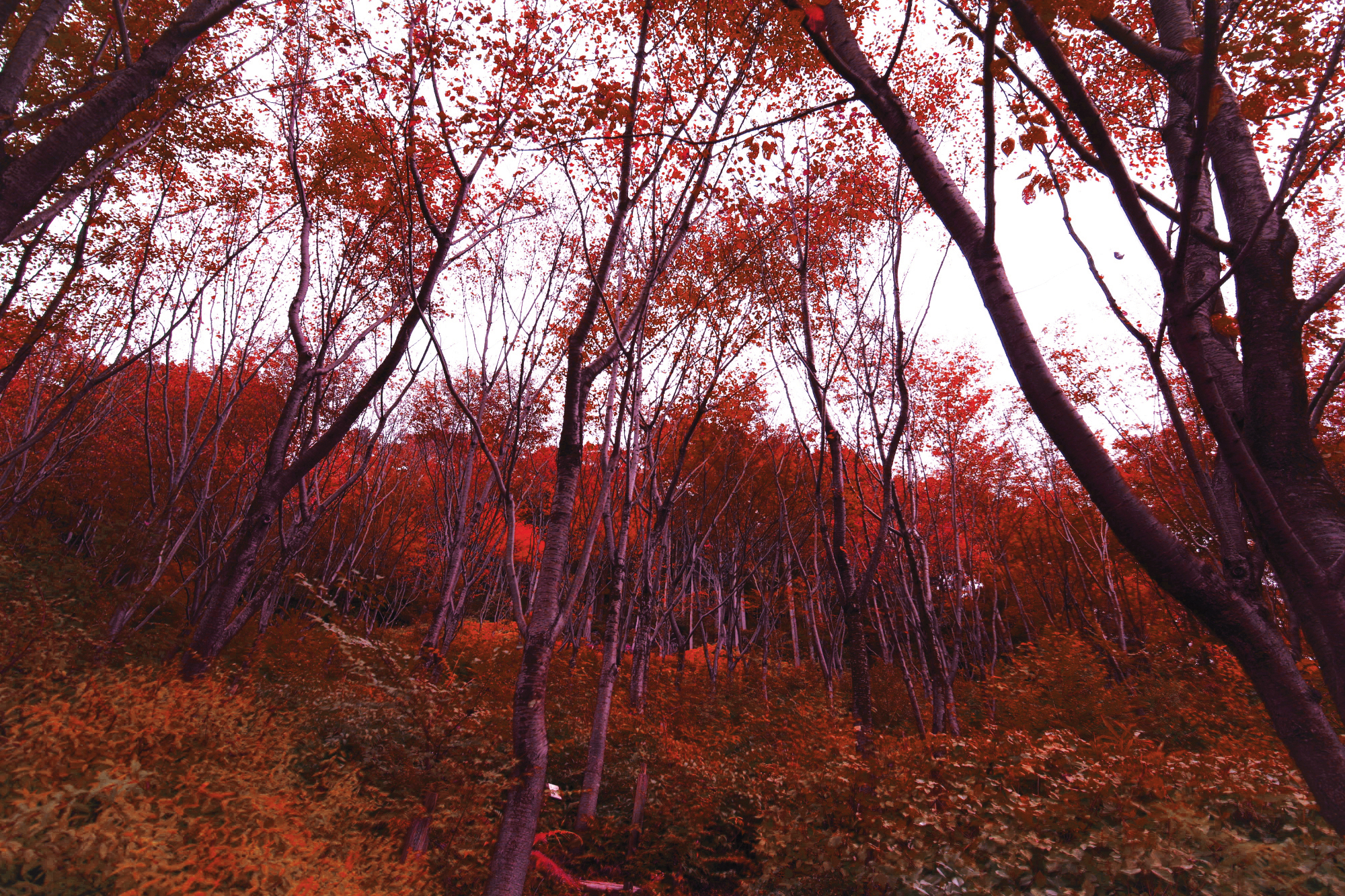 Photograph of a wooded area in Kyoto, Japan that's orange and pink. Dream like colors.