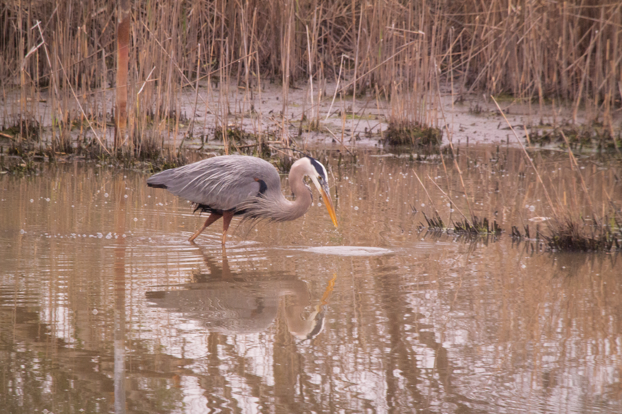 Photograph of a bird standing in water, reflecting beautifully in the water. Moody image taken in the winter in Maryland.