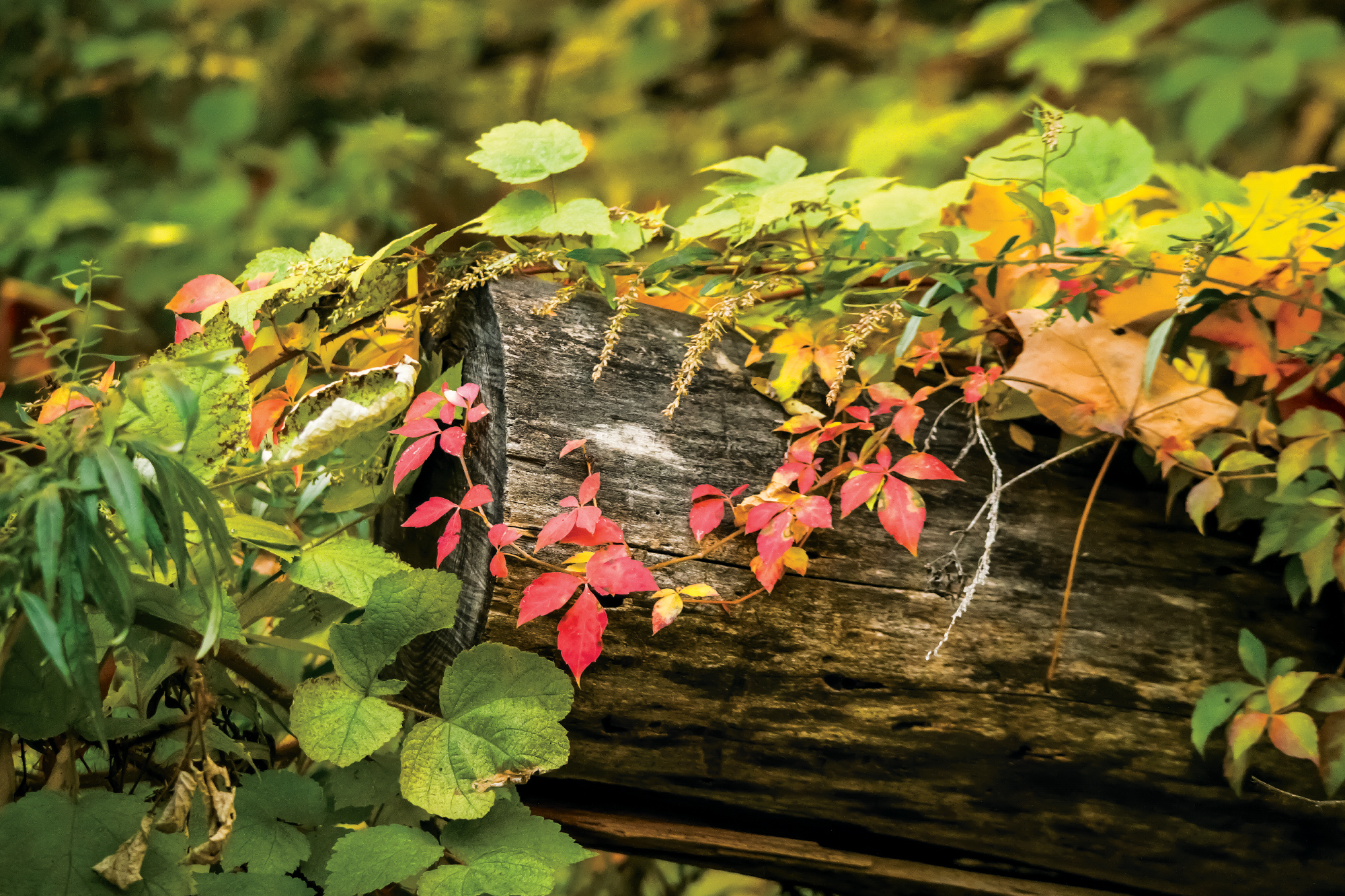 Photograph of a tree log covered in beautiful vines and leaves changing colors from fall. Taken in upstate New York.