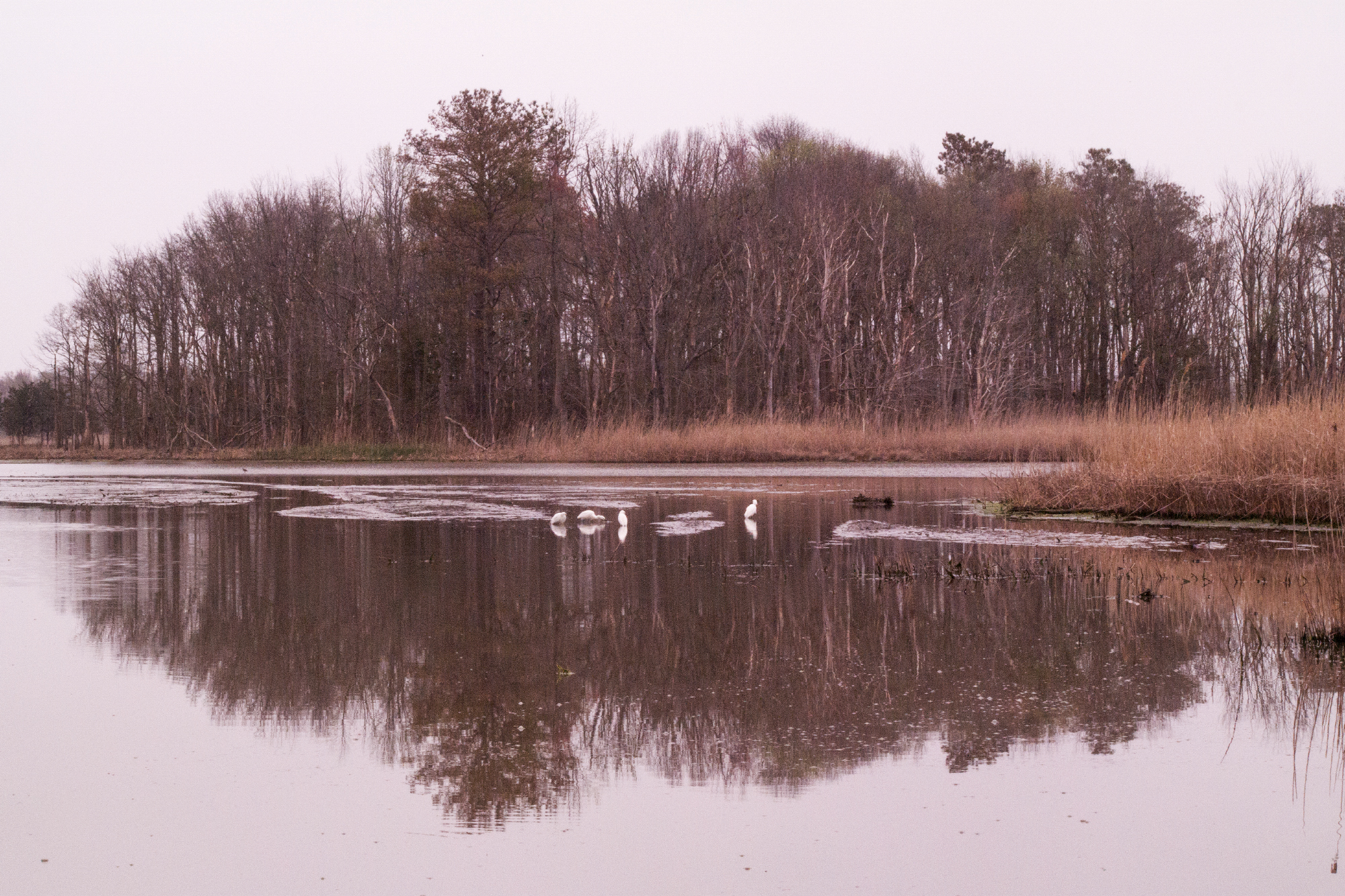 Photograph of a natural scene taken in Maryland in the winter. Moody photograph with trees reflecting in the water, birds, and other wildlife are in the image.