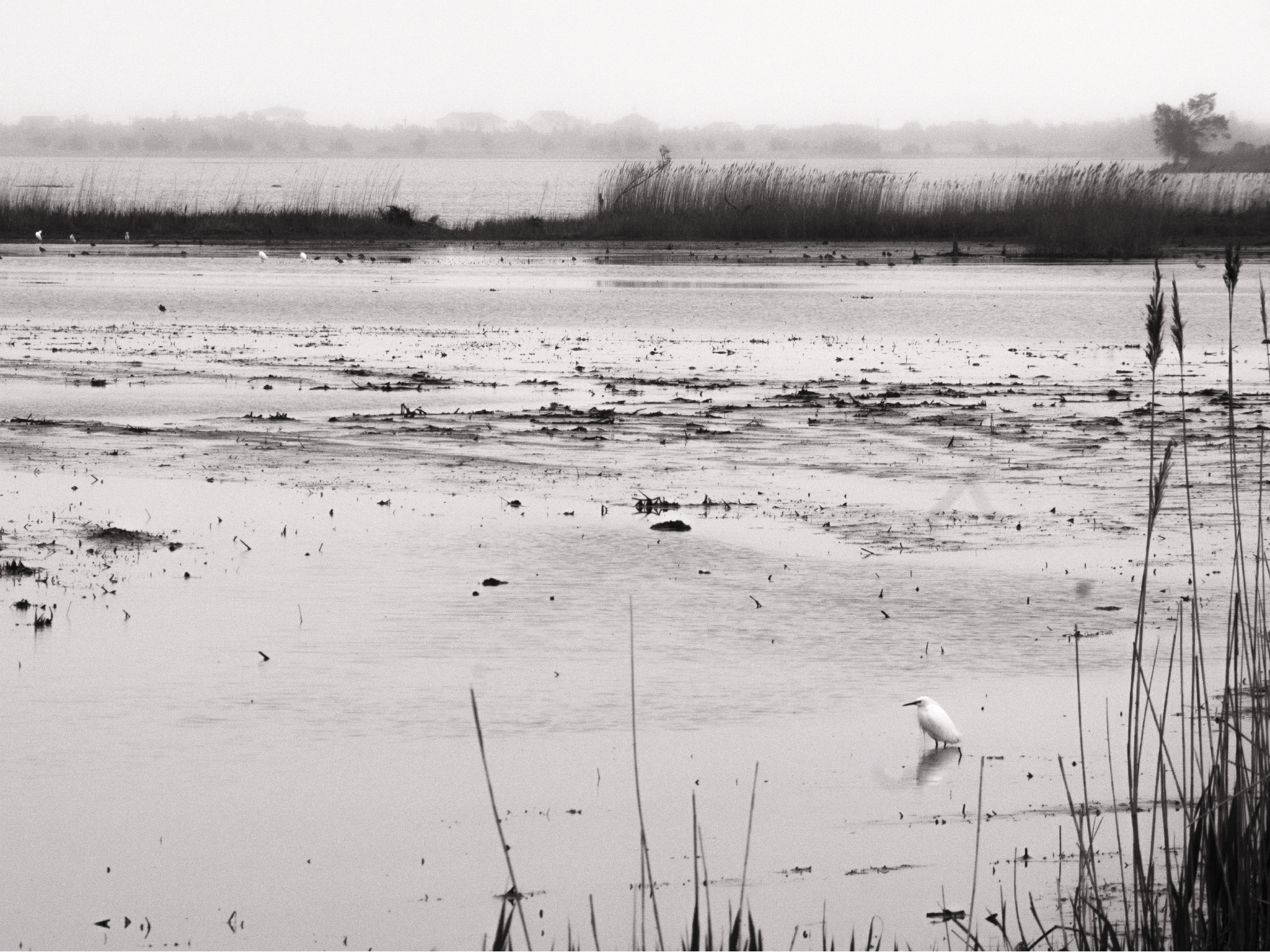 Black and white photograph of a small bird walking across marshland alone, feeling very melancholy and lonely.